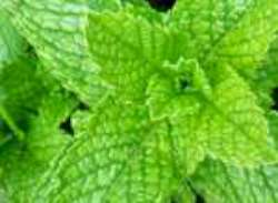 pudina mint herb