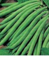 Green beans - French beans - String beans