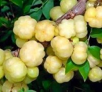 Star gooseberries
